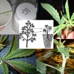 Some Useful Marijuana Cloning Tips