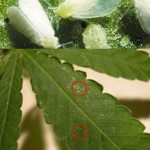 Common Indoor Cannabis Growing Diseases and How to Deal With Them