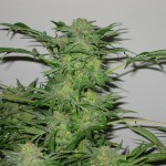 AK-48 Feminized Marijuana Strain Review Information and Growing Tips – Where to Buy AK-48 Feminized Seeds