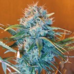 AK-48 Marijuana Strain Information and Growing Tips – Where to Buy AK-48 Seeds