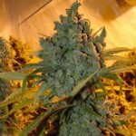Chrystal Marijuana Strain Review Information and Growing Tips – Where to Buy Chrystal Seeds