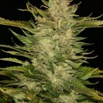 Shiva Marijuana Strain Review Information and Growing Tips – Where to Buy Shiva Seeds