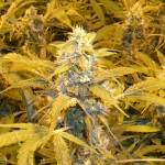 Bubblelicious Feminized Marijuana Strain Review Information and Growing Tips – Where to Buy Bubblelicious Feminized Seeds