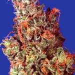 Caramelicious Marijuana Strain Review Information and Growing Tips – Where to Buy Caramelicious Seeds