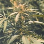 Hawaii Maui Waui Feminized Marijuana Strain Review Information and Growing Tips – Where to Buy Hawaii Maui Waui Feminized Seeds