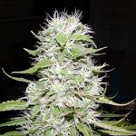 Hawaii Skunk Marijuana Strain Review Information and Growing Tips – Where to Buy Hawaii Skunk Seeds