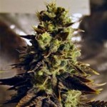 Haze Marijuana Strain Review Information and Growing Tips – Where to Buy Haze Seeds