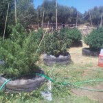 How Often Do You Fertilize and Water Outdoor Marijuana Plants