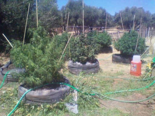 How often do you fertilize and water outdoor marijuana plants
