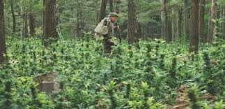 How To Keep Stealthy In Outdoor Marijuana Growing