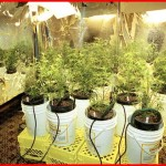 Marijuana Hydroponics System: Growing Cannabis in Hydroponics