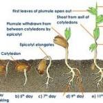 Marijuana Seeds Germination: Step-by-Step Procedure