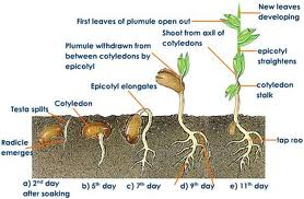 Seed Life Cycle Flowering Plant