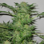 Swiss Cheese Marijuana Strain Review Information and Growing Tips – Where to Buy Swiss Cheese Seeds