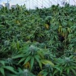 The Sea of Green Method of Growing Marijuana