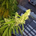 The Flowering Stage of Marijuana Plants: What to Do