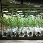 What Is Hydroponics Marijuana Growing and How to Do It