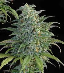 buy big bud marijuana seeds