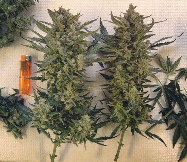 difference_between_early_and_late_harvesting_of_marijuana_plants