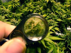 magnify-the-cannabis-buds
