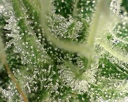 trichome-method-in-harvesting-marijuana