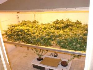 marijuana scrog method