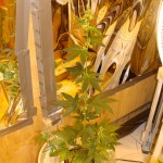 How to Minimize Stretch in Cannabis Plant Growth