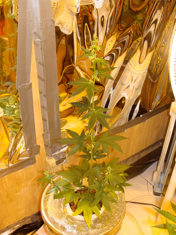 how to grow a marijuana plant at home