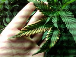 marijuana diseases