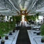 Advantages and Disadvantages of Growing Weed in a Greenhouse