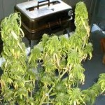 How to Identify and Prevent Marijuana Root Rotting Problems