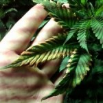 How to Deal with Marijuana Plant Diseases