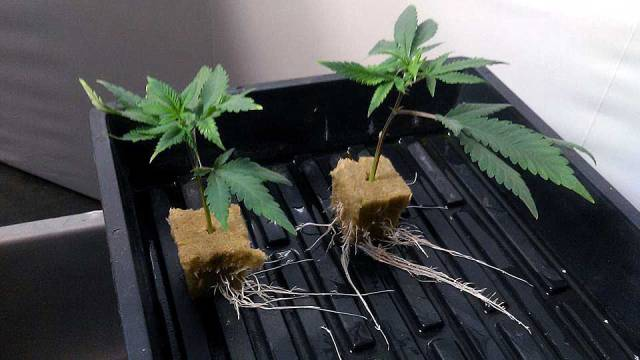 how to root cannabis clones. Black Bedroom Furniture Sets. Home Design Ideas