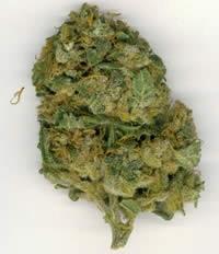 Optimum Time to Harvest Sativa and Indica Marijuana