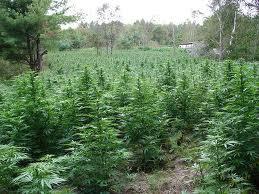 Tips on growing marijuana outdoors in northern climates aloadofball Choice Image