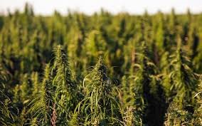what_expert_growers_recommend_on_marijuana_harvesting