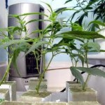 How to Grow Weed from Clones Versus Growing from Seeds