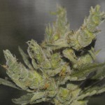 sterling-haze-feminized