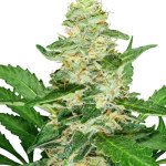 How to Grow Weed – Super Skunk Automatic Review