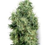 White Gold Feminized Marijuana Strain Review