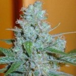 Aussie Blues Feminized Growing Tips and Review