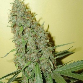 cheese-auto-feminized