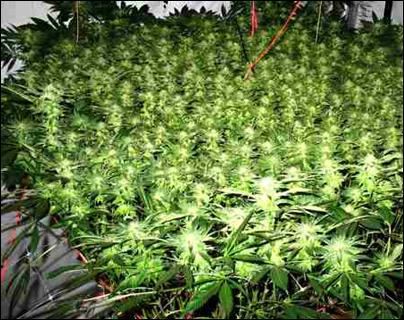 How to Grow Outdoor Marijuana Strains Indoors