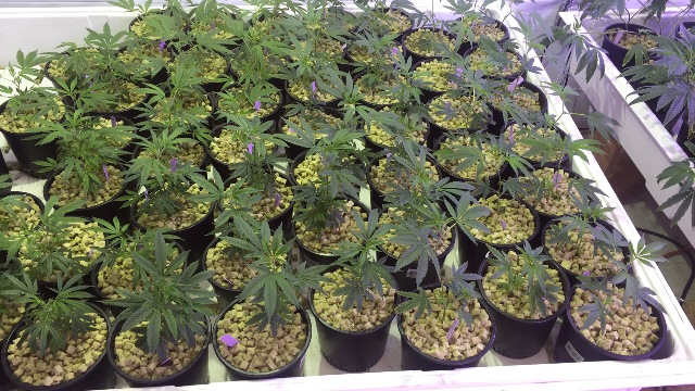 How To Use Natural Sunlight In Growing Marijuana Indoors
