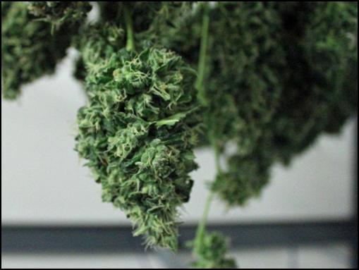 pro-tips-in-growing-marijuana-outdoors