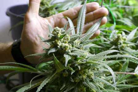 best marijuana strains for indoor growing