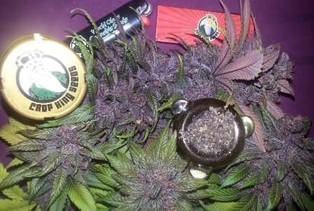 crop king seeds purple kush