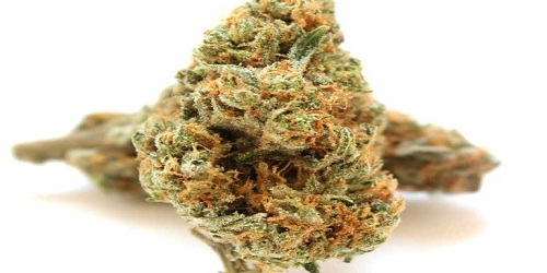 Hawaii x Skunk #1 Marijuana Strain Review Information and Growing Tips - Where to Buy Hawaii x Skunk #1 Seeds