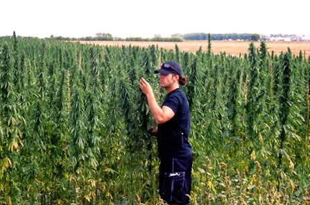 harvesting_marijuana_outdoors