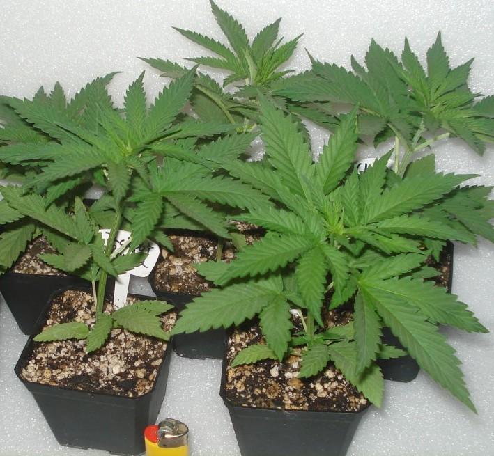 Marijuana Growing: The Duration of Cannabis Flowering Period
